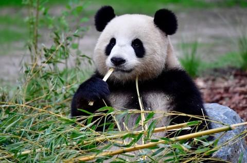 Panda di Kebun Binatang Berlin Lahirkan Anak Kembar
