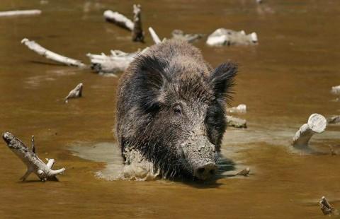 Babi Hutan Indonesia Invasi Wilayah Malaysia