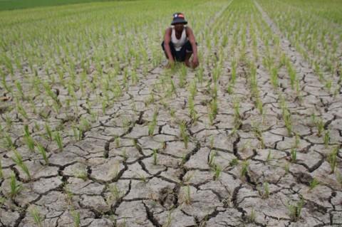 875 Hektare Padi Puso di Klaten