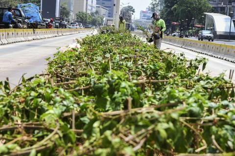 Kurangi Polusi Udara, Jakarta Ditanami Bougenville
