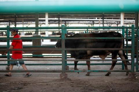 Pemerintah Wajibkan Label dan Sertifikasi Halal pada Hewan Impor