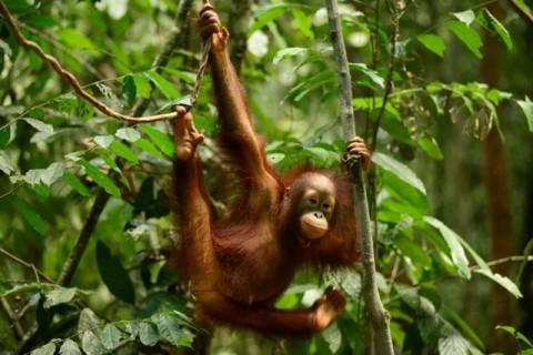 Terinfeksi ISPA, Belasan Orangutan Direhabilitasi