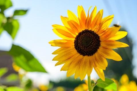 Beragam Khasiat Biji Bunga Matahari