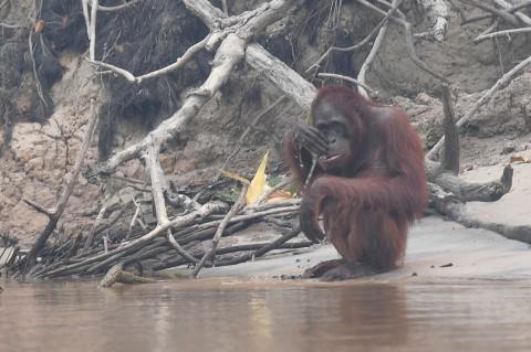 Hirup Kabut Asap, 37 Orangutan Terkena ISPA