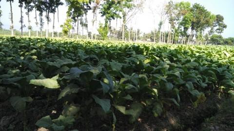 Kebijakan Cukai Rokok Diimbau Tak Memberatkan Petani