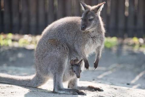Remaja Australia Didakwa usai Bunuh 20 Kanguru