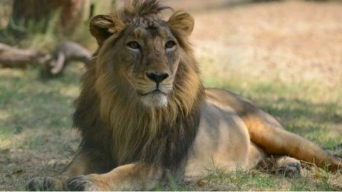 342 Kilogram Tulang Singa Disita di Afrika Selatan