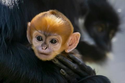 Monyet Spesies Langka Lahir di Australia