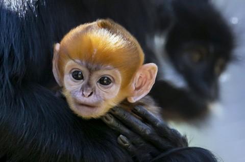 Monyet Langka Lahir di Kebun Binatang Australia