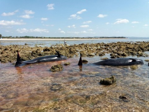 7 Paus Terdampar di Pantai Kolo Udju NTT Mati