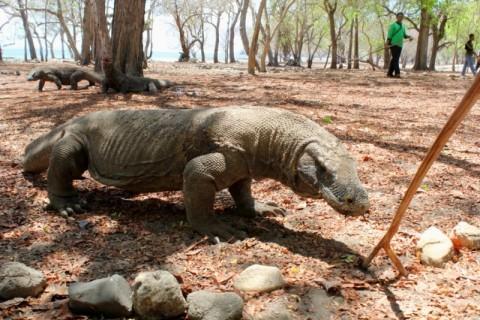 Pulau Komodo akan Diubah Jadi Safari Kenya