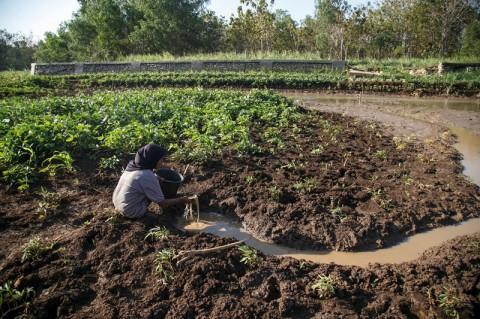 2.951 Hektare Lahan Pertanian di DIY Gagal Panen