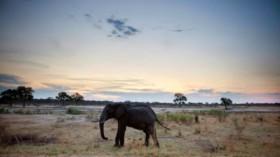 Dilanda Kekeringan, 55 Gajah Mati Kelaparan di Zimbabwe