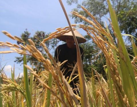 Menteri Syahrul Akan Buat Komando Strategis Pertanian