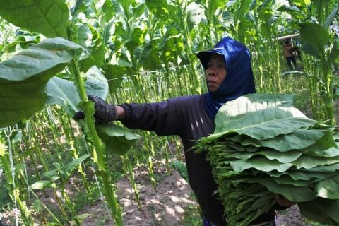 Petani dan Pengusaha Keluhkan Kenaikan Cukai Rokok