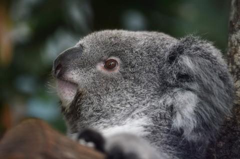 Ratusan Koala Langka Dikhawatirkan Mati dalam Kebakaran