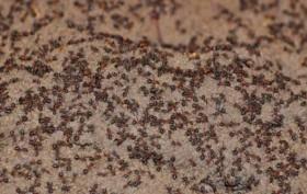 Semut Kanibal Keluar dari Bunker Senjata Nuklir Soviet
