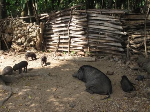 Virus Hog Chorela Bunuh 4.682 Ekor Babi di Sumut