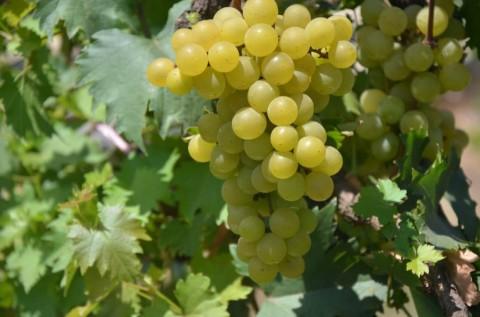 Jan Ethes SP1 jadi Nama Varietas Anggur Baru