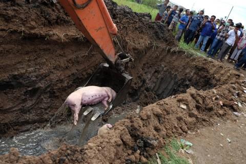 Pembuang Bangkai Babi di Helvetia Ditangkap