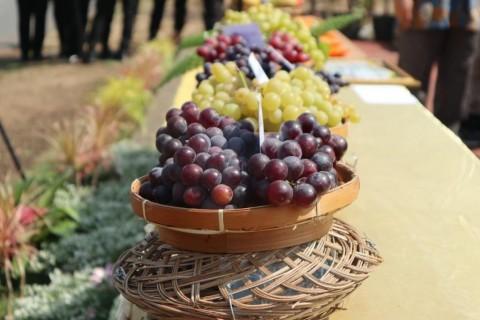 Anggur Janetes SP1 Pengganti Produk Impor
