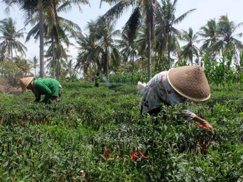 Harga Cabai di Tingkat Petani Kulon Progo Dinilai Cukup Baik