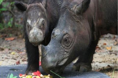 Satu-satunya Badak Sumatra di Malaysia Mati