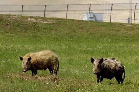 Seorang Perempuan Tewas Diserang Babi Hutan di Texas