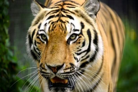 Harimau Kembali Serang Warga di Gunung Dempo