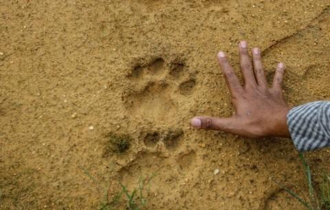 BKSDA Sumsel Khawatir Warga Buru Harimau Sumatra