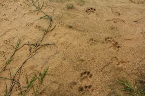Pakan Alami Habis Diduga Penyebab Teror Harimau Sumatra