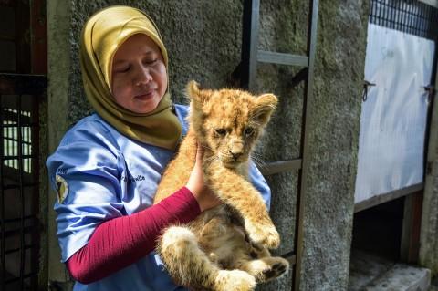 Empat Bayi Singa Korban Perdagangan Satwa Diselamatkan
