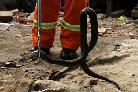 54 Ekor Ular Dievakuasi dari Kota Bekasi