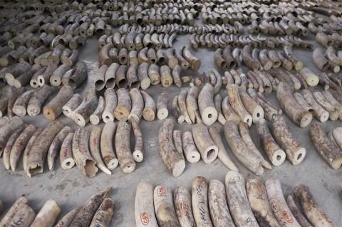 Vietnam Sita Dua Ton Gading Gajah dan Sisik Trenggiling