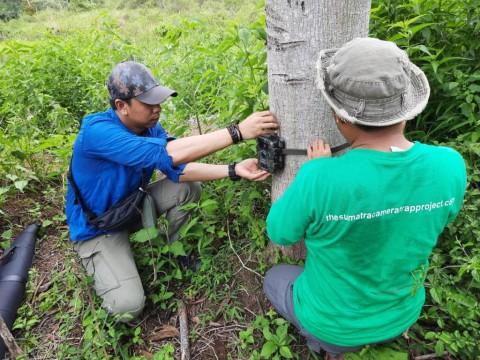 Pergerakan Harimau Sumatra Diintai Melalui Kamera