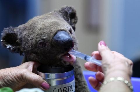 25 Ribu Koala Diperkirakan Mati akibat Kebakaran Australia