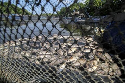 Sungai Tercemar, Ribuan Ikan Keramba di Lhokseumawe Mati