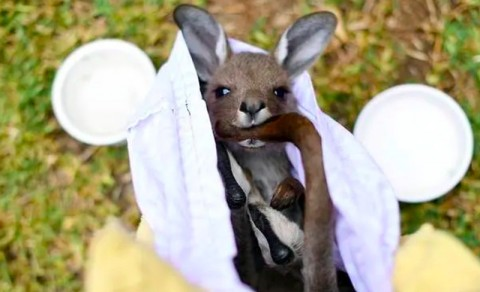 Hewan di Australia Terancam Punah Akibat Kebakaran Hutan