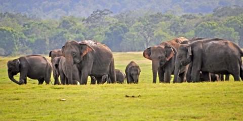 Selama 2019, 361 Gajah Mati di Sri Lanka