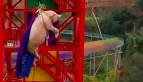 Digantung dan Dilempar, Seekor Babi Jadi Atraksi Taman Hiburan