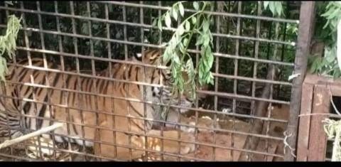 Gubernur Lampung Terima Harimau Tangkapan dari Sumsel
