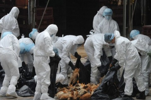 Wabah Flu Burung Muncul di Dekat Pusat Penyebaran Korona