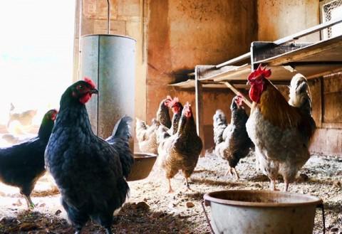 Mengenal Flu Burung dan Antisipasinya