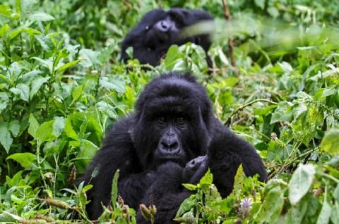 Empat Gorila Langka Mati Tersambar Petir