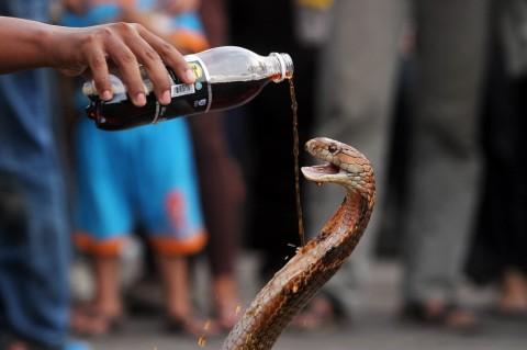 Petugas SDA Jaktim Dipatok Saat Mainkan Ular Kobra