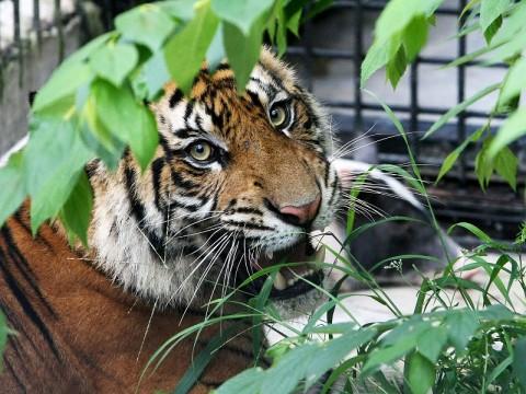Sindikat Perdagangan Organ Harimau Ditangkap