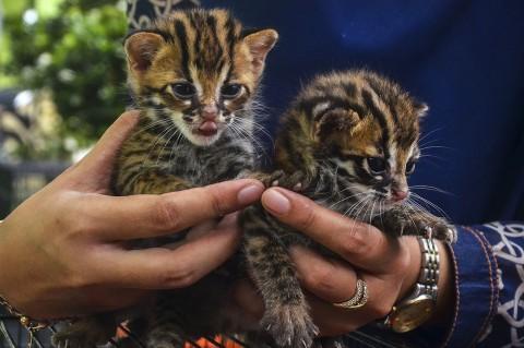 2 Anak Kucing Hutan Temuan Warga Dirawat BBKSDA Riau