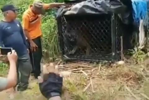 Harimau Sumatra Masuk Perangkap di Aceh