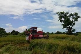 Luas Panen Padi di Sumenep Mencapai 19 Ribu Hektare