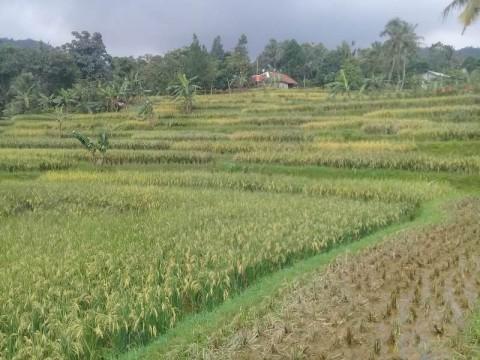 Petani Jalankan Protokol Pencegahan Covid-19 Saat Panen Raya